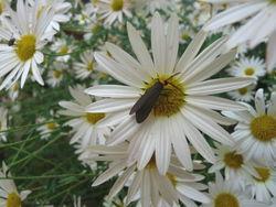 Bugandchrysantheum(1)