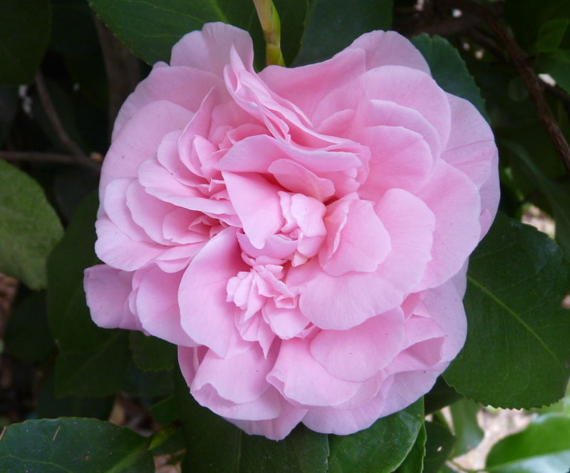 Firstcamelia