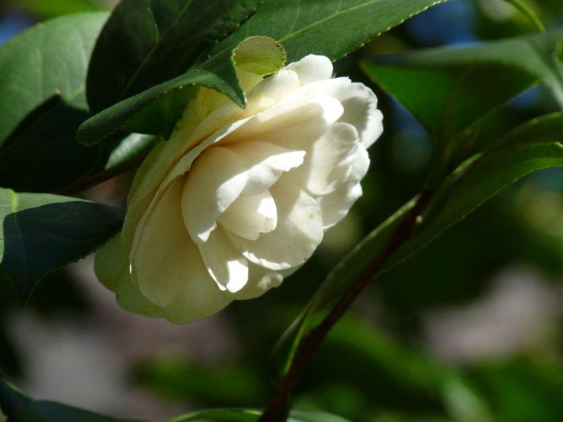 Whitecamellia