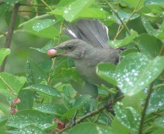 Mockingbird with berry1