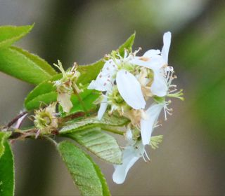 Serviceberry bloom