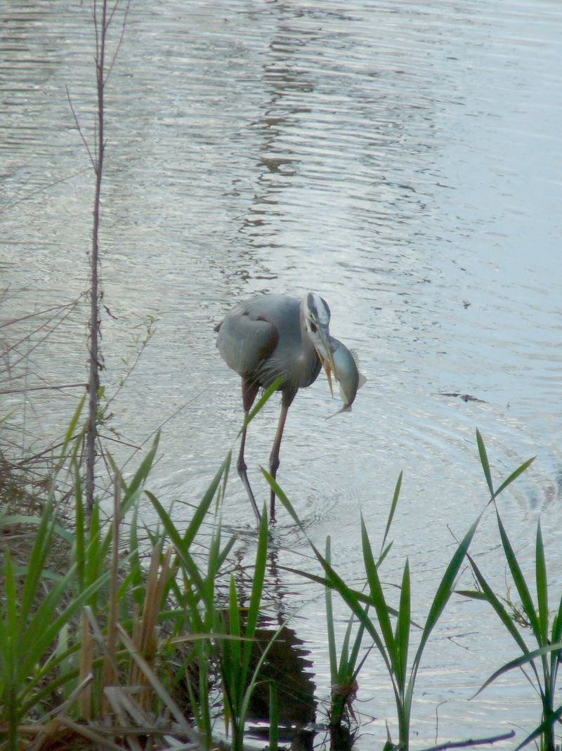 Heron with fish1
