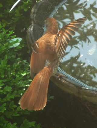 Brown thrasher wing