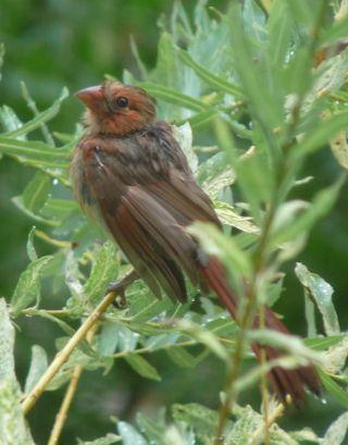 Cardinalyoung