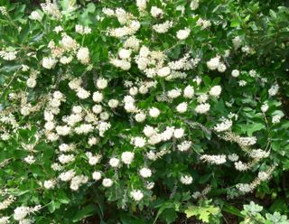 Sweetpepperbush