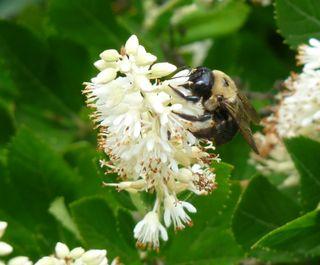 Sweetpepperbushandbee