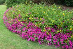 Lantanaand petunia