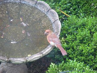 Birdbathwithcardinal