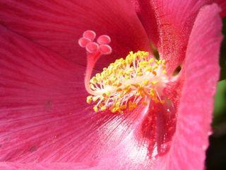 Confederate rose closeup2