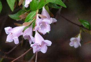 Abelia pinkbloom2