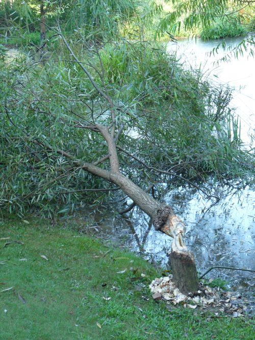 Willow damage2