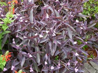 Purplehearts2