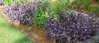 Purplehearts1