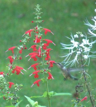 Salvia and hummer2