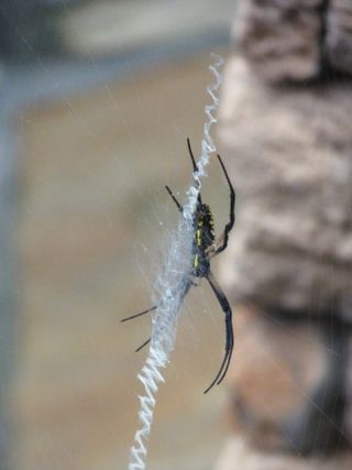 Yellow garden spider (2)