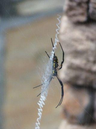 Georgia Backyard Nature Spiders