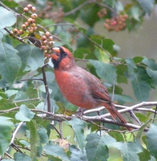 Cardinalandhawthorn1