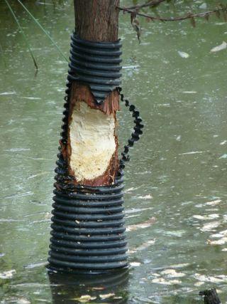 Beaver damage cypress(1)