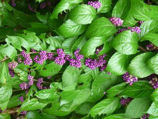 Beauty berries1