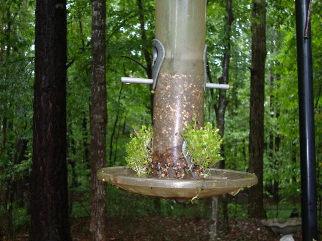 Bird feeder sprouting2