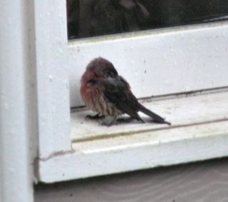 Purple finch1