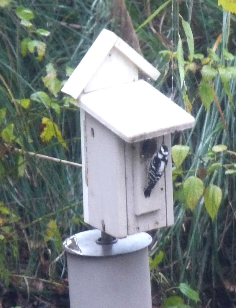 Woodpecker12