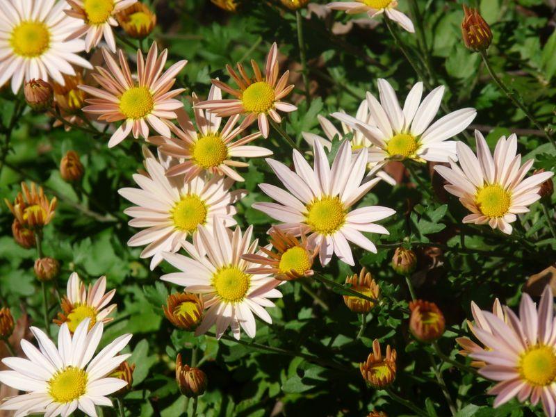 Chrysanthimum1