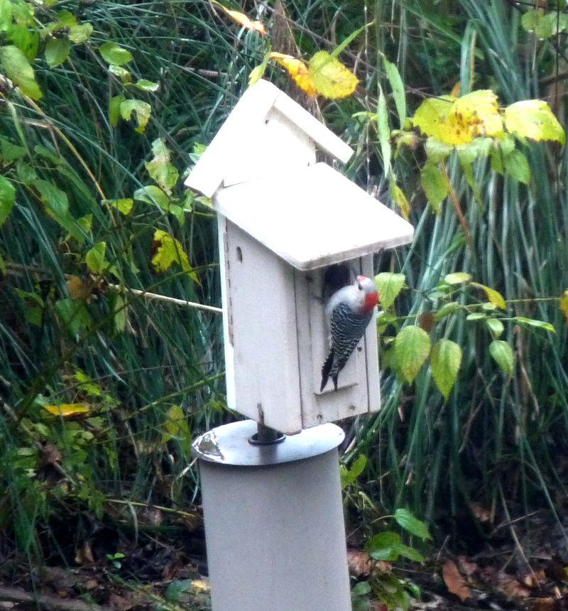 Woodpecker23(1)
