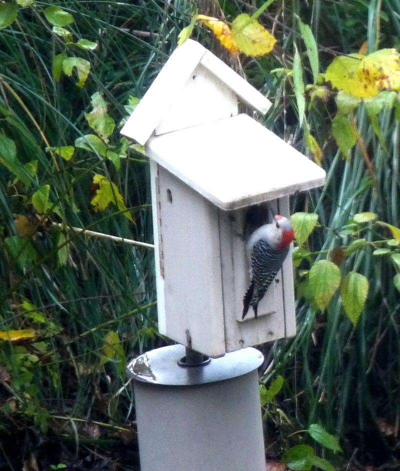 Woodpeckeratbirdhouse