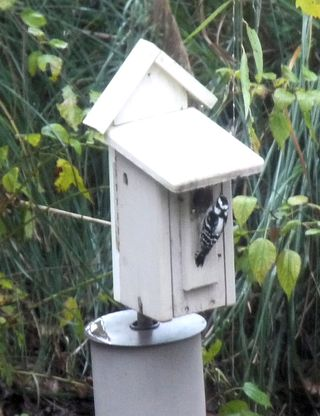 Downywoodpecker2