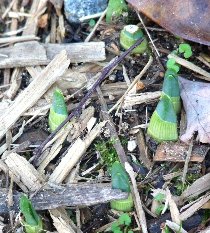 Daffodil buds2