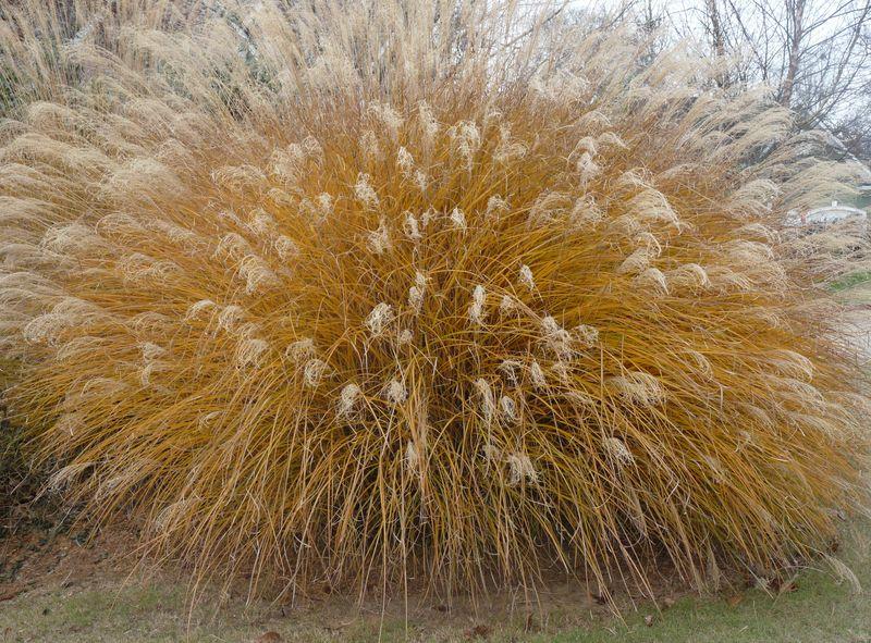 Maidengrassfall
