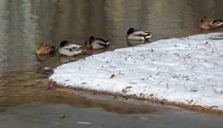 Wintermallards