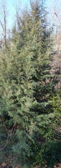 Carolina cypress1