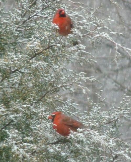 Cardinalinsnow2