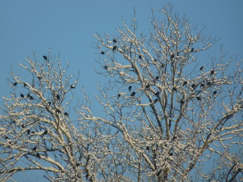 Starlingsintree