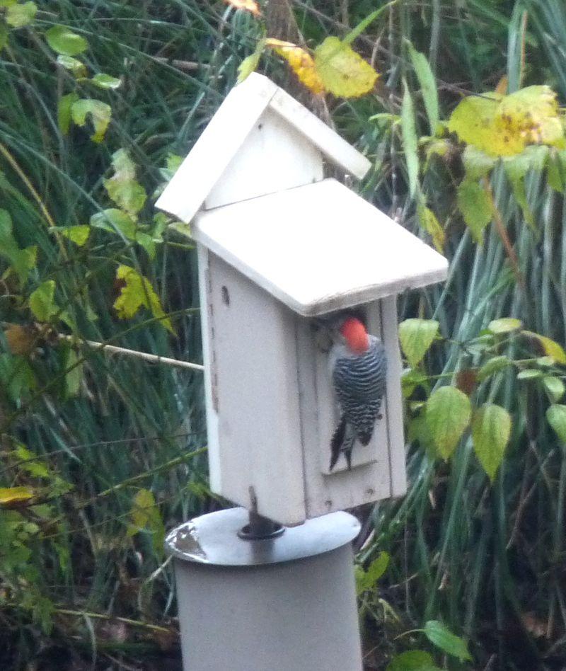 Woodpecker22