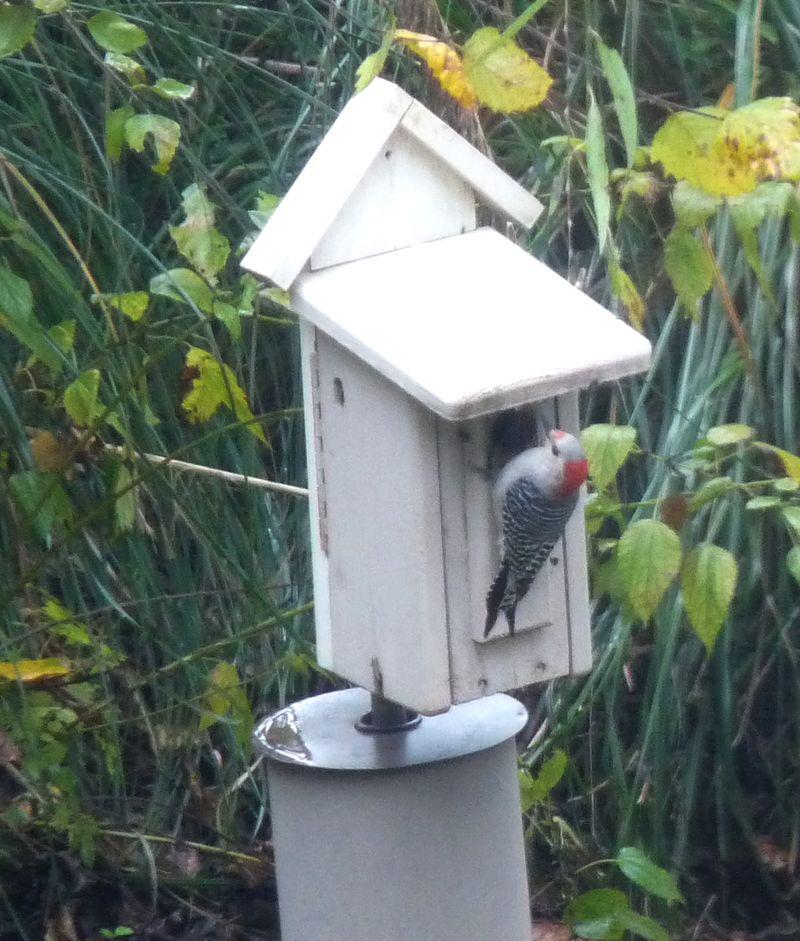 Woodpecker21