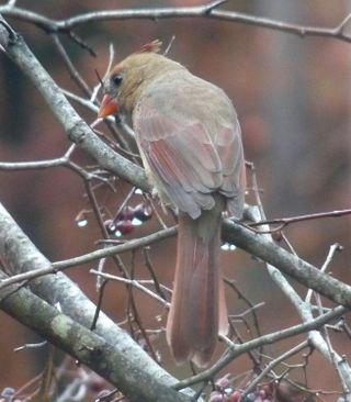 Cardinalback