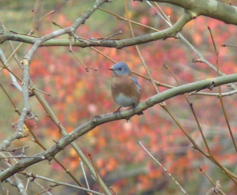 Bluebirdfall2