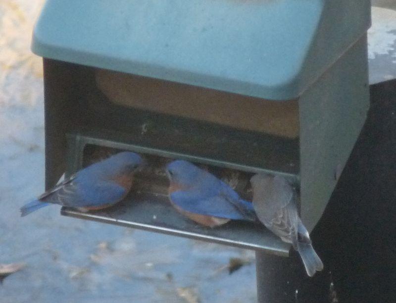 Bluebirds1(1)