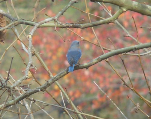 Bluebirdintree