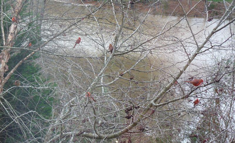 Redbirdsinhawthorn2