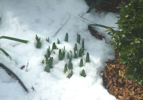 Daffodilsinsnow