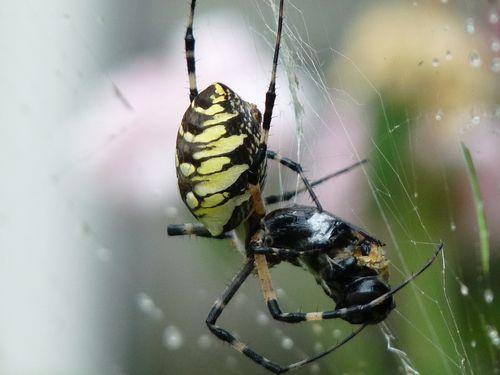Spidereatingbee