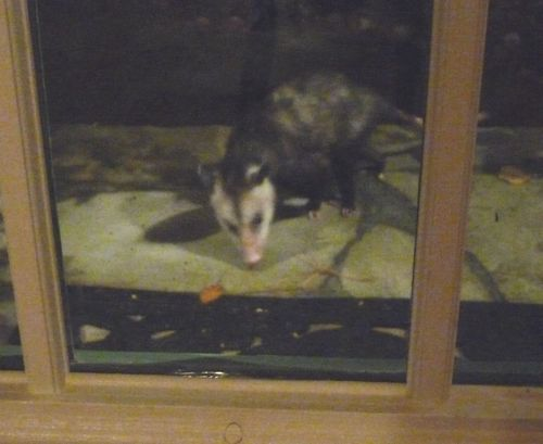 Last Night About Eleven, I Saw The Cat Intently Watching Something Through  The Front Door. When I Went To Investigate, I Saw This Opossum Scavenging  Nuggets ...
