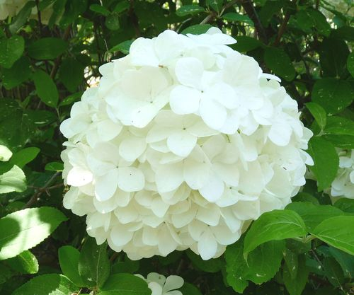 Georgia backyard nature showy snowball viburnum most of us are ready to forget winter but gardeners are eager for one more bit of snow the snowball viburnum popular since colonial times mightylinksfo