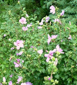 Rose of sharon2