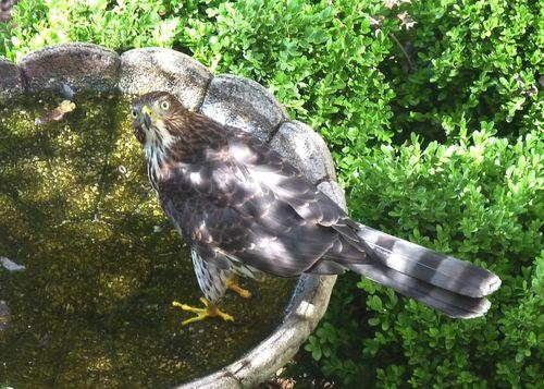 Hawkinbirdbath
