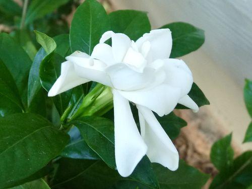 Gardenia at thanksgiving